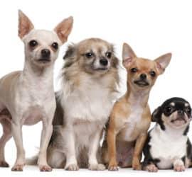 Home Chihuahua Training Tips