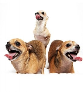 chihuahua-therapy-dogs
