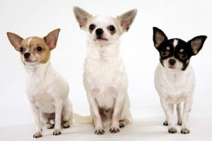 chihuahuas-as-show-dogs