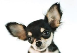 cleaning-chihuahua-ears