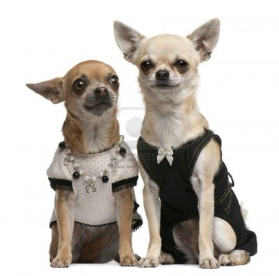 dog-clothing-for-your-chihuahua