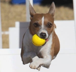 flyball-for-dogs