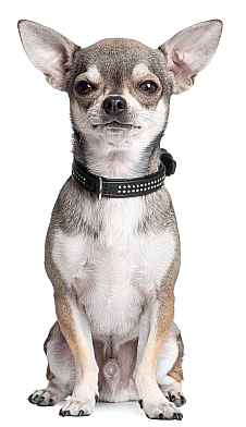 house-training-a-chihuahua