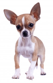 Clicker Training Your Chihuahua