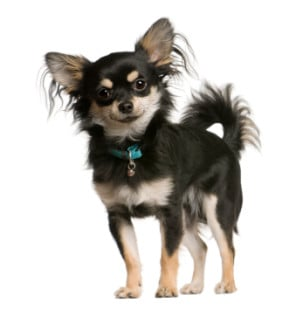 reading-your-chihuahua-body-language