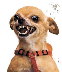 aggressive-behavior-in-chihuahuas