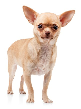 Skills To Teach Your Chihuahua