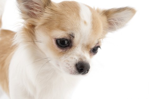signs-of-a-healthy-chihuahua