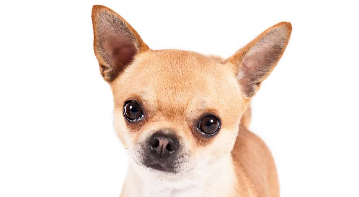 How-to-Choose-a-Perfect-Chihuahua